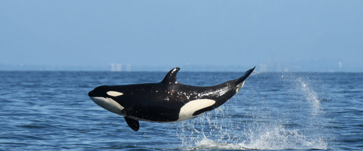 Biggs Killer Whales – Public Lecture March 14th